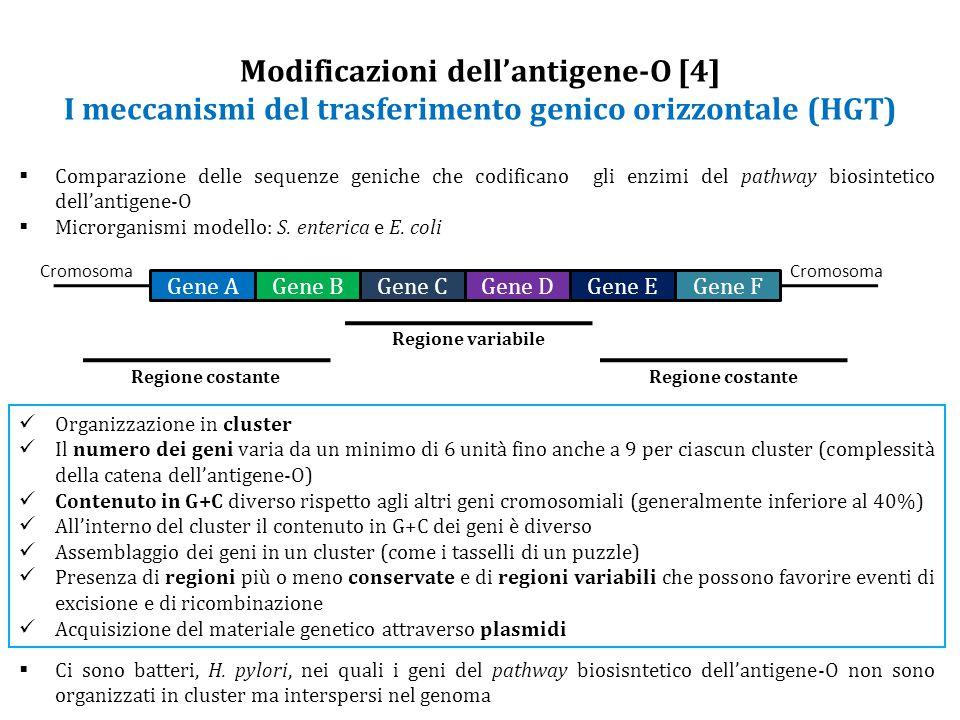 Modificazioni dell'antigene-O [4] I meccanismi del trasferimento genico orizzontale (HGT)